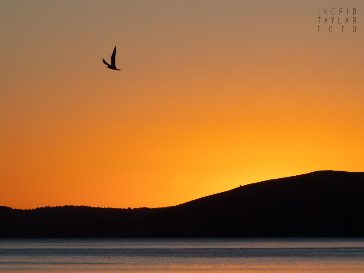 Tern Silhouette on San Francisco Bay Sunset