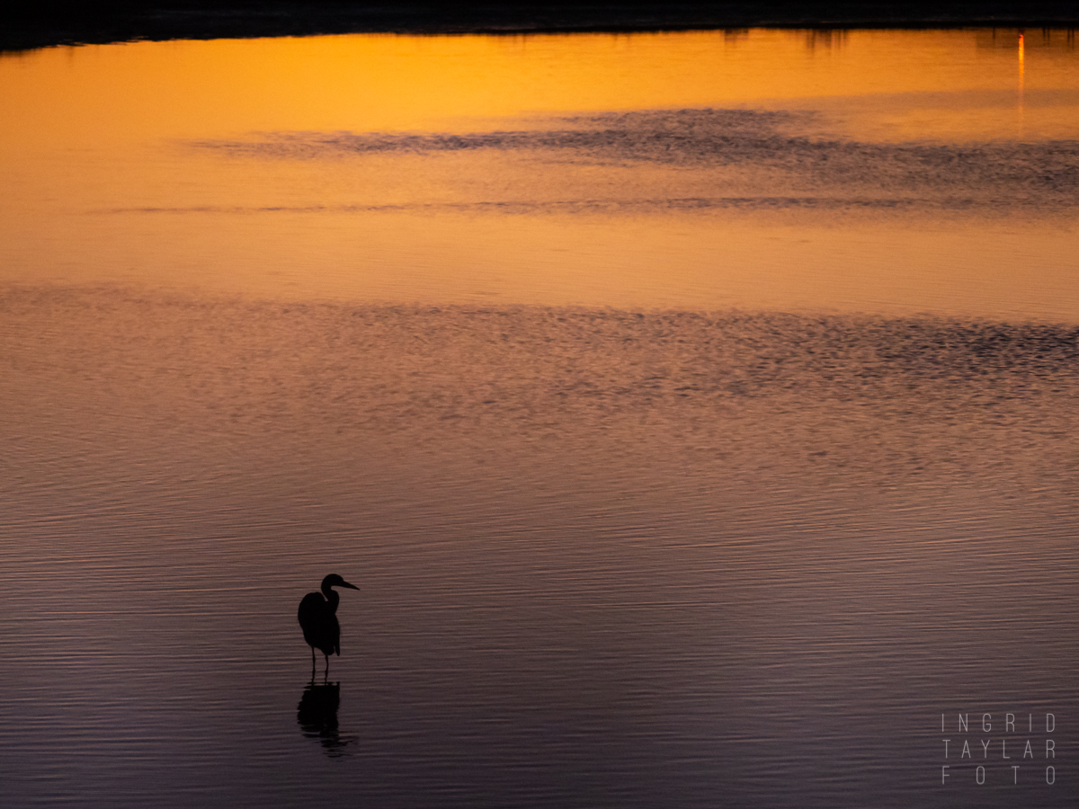 Great Blue Heron Silhouette on San Francisco Bay Sunset