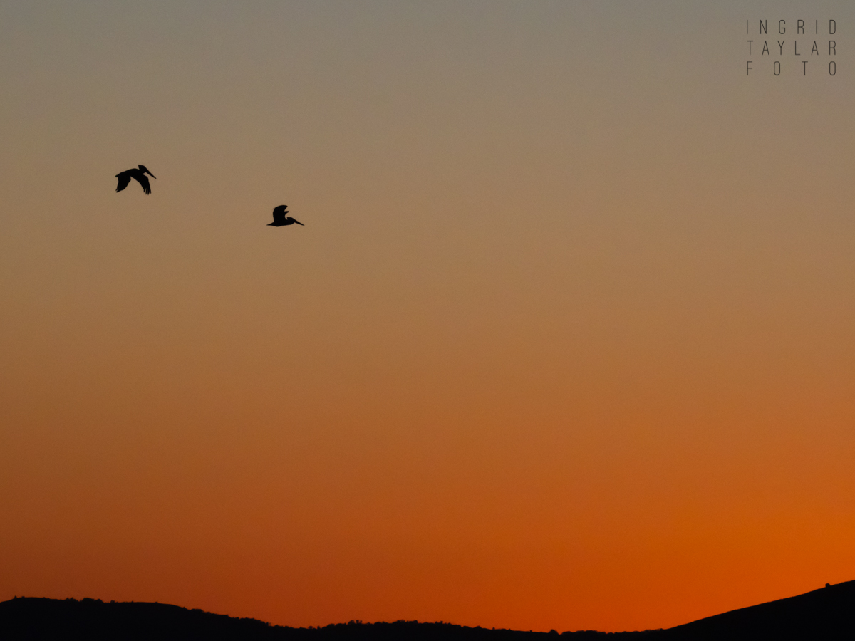 Brown Pelican Silhouettes on San Francisco Bay Sunset