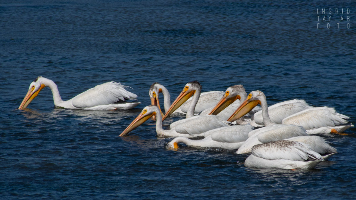 White Pelicans Fishing in Bodega Bay
