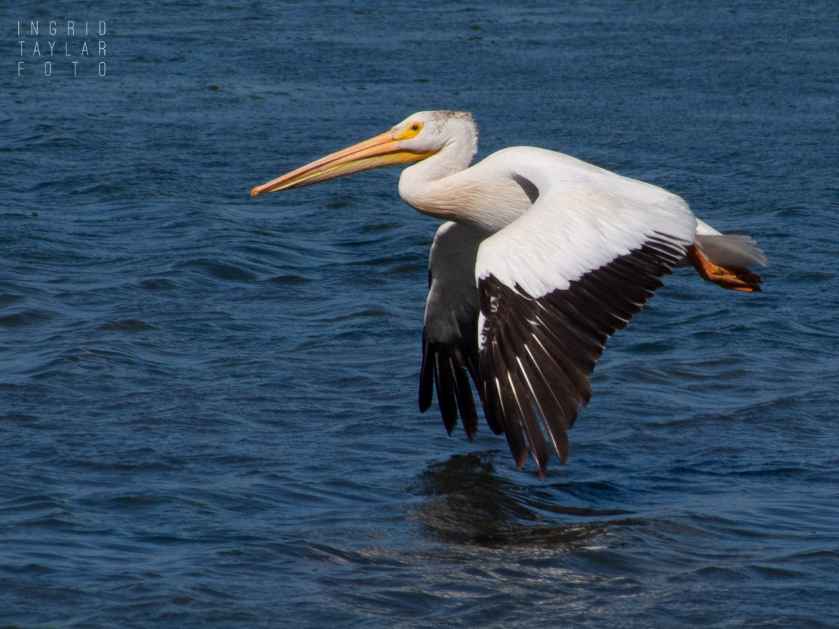White Pelicans Flying Over Bodega Bay