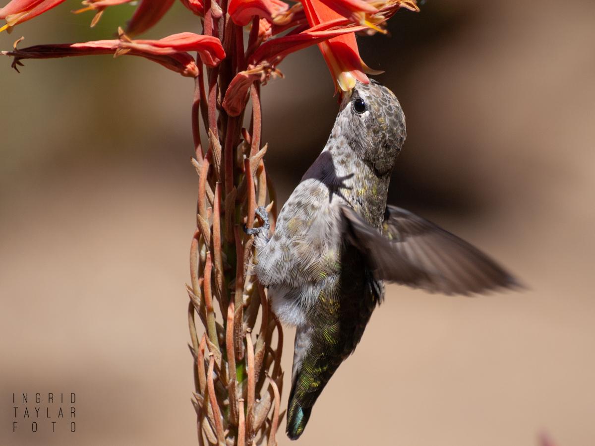 Anna's Hummingbird Closeup 2