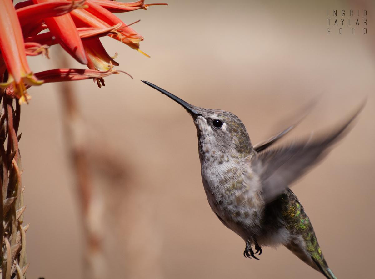 Anna's Hummingbird Closeup