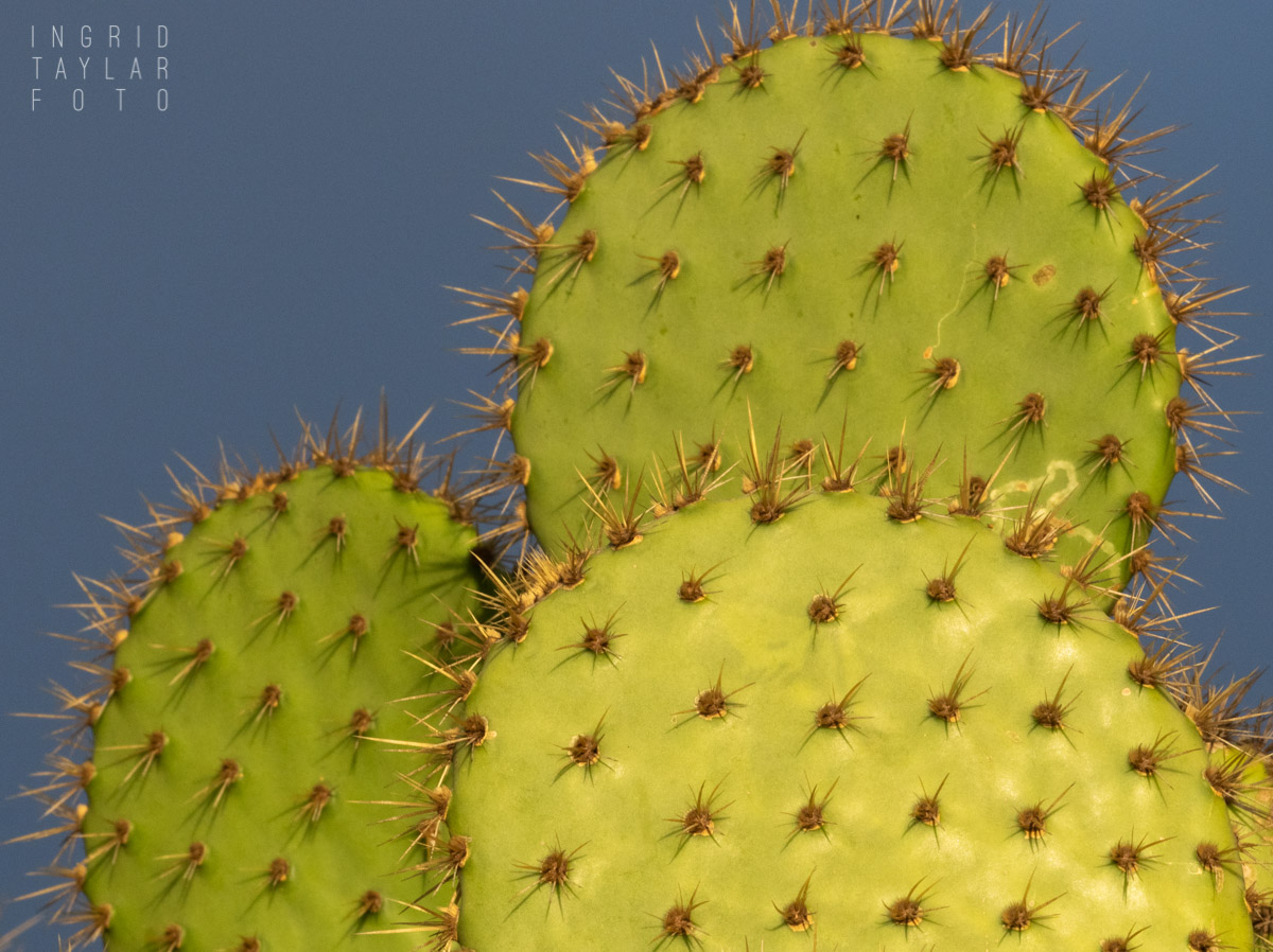 Cactus Paddles in Evening Light