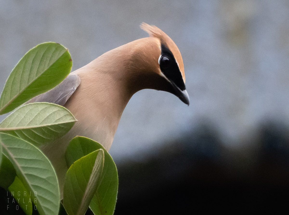 Cedar Waxwing in Profile