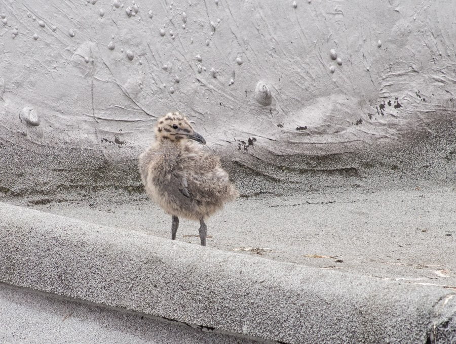 Glaucous-Winged Gull Chick on Seattle Rooftop