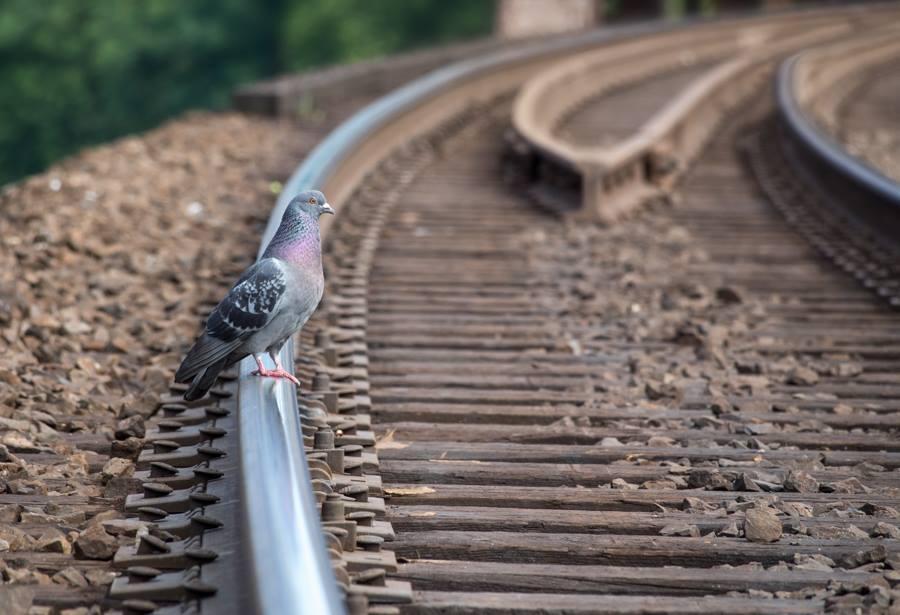 Pigeon on Train Tracks