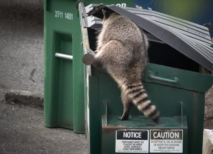 Raccoon in Dumpster