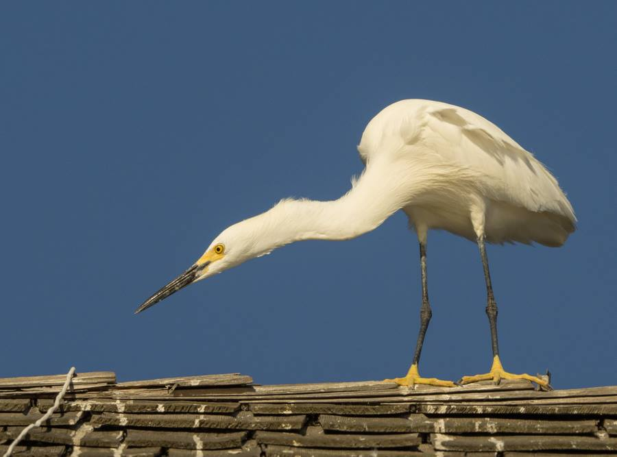 Snowy Egret on Rooftop
