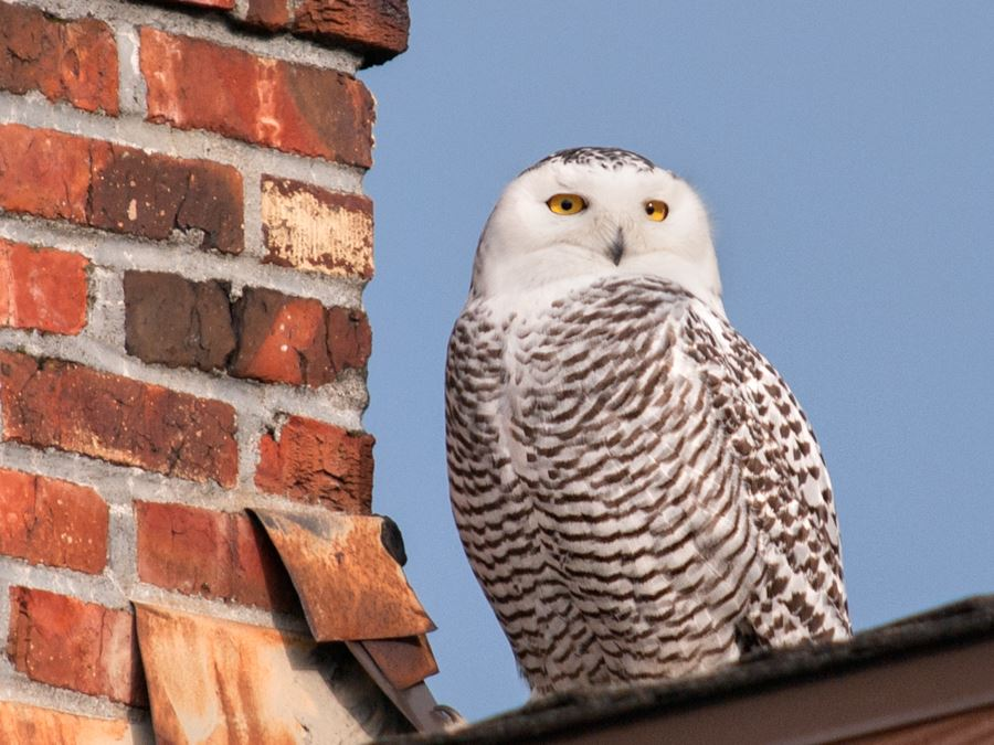 Snowy Owl on Seattle Rooftop and Chimney