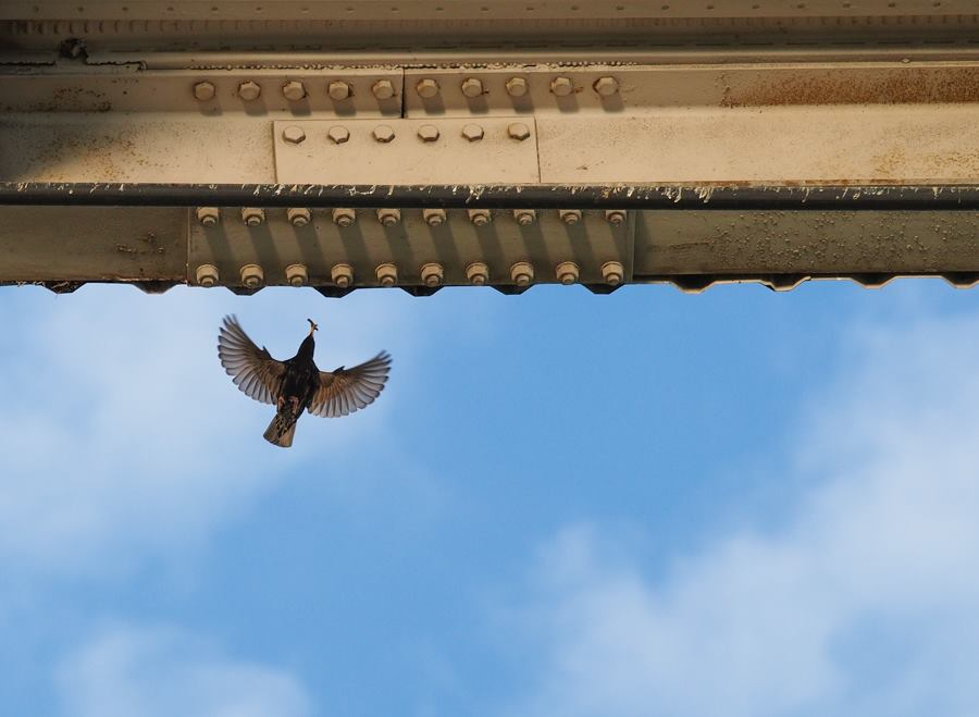 Starlings Nesting in Overpass