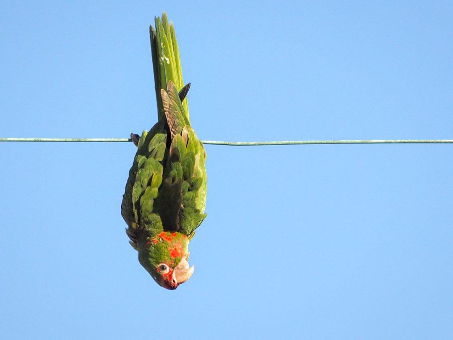 Wild Parrot on Urban Wire