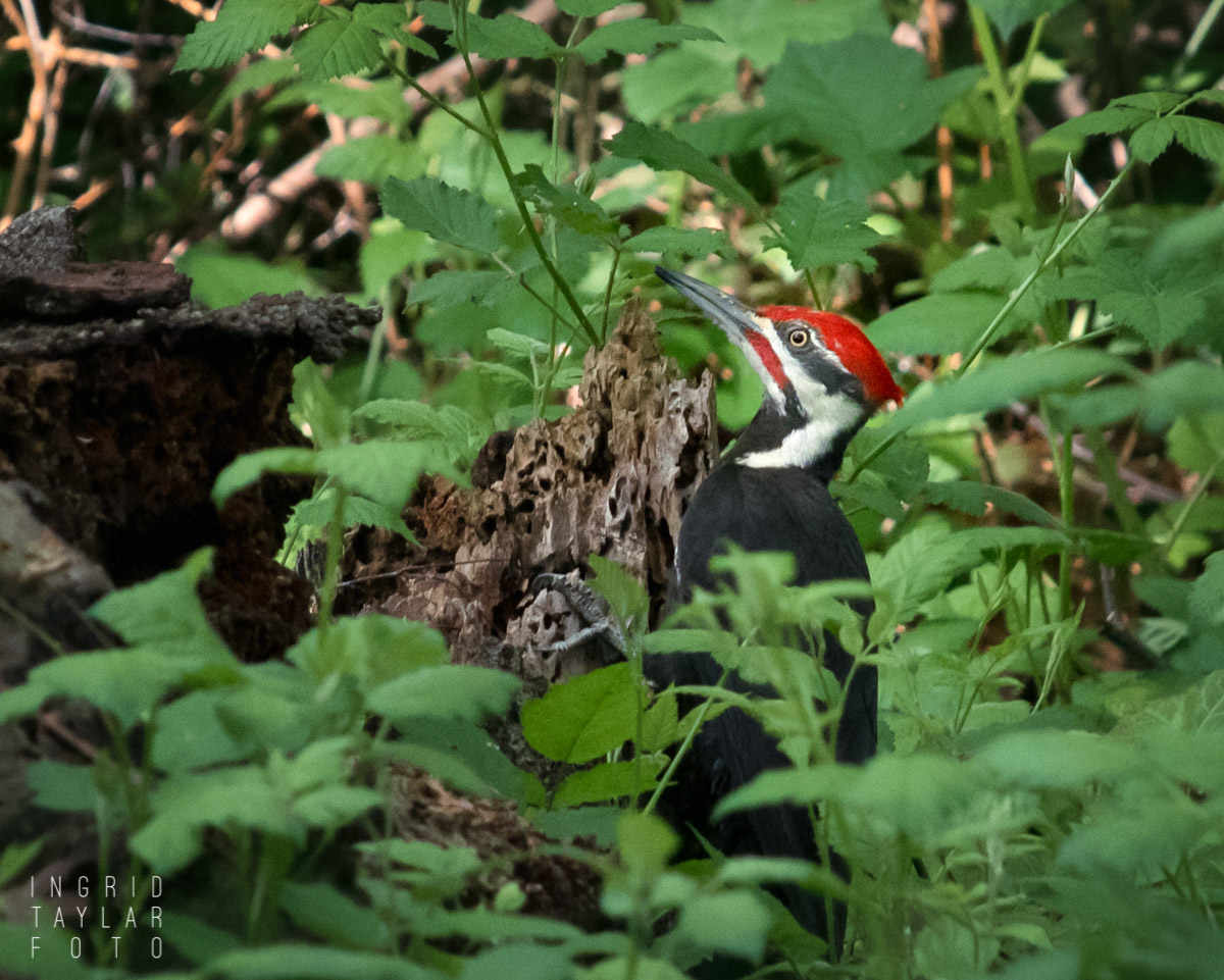 Pileated Woodpecker in Washington Park Arboretum