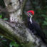 Pileated Woodpecker in Seattle Arboretum