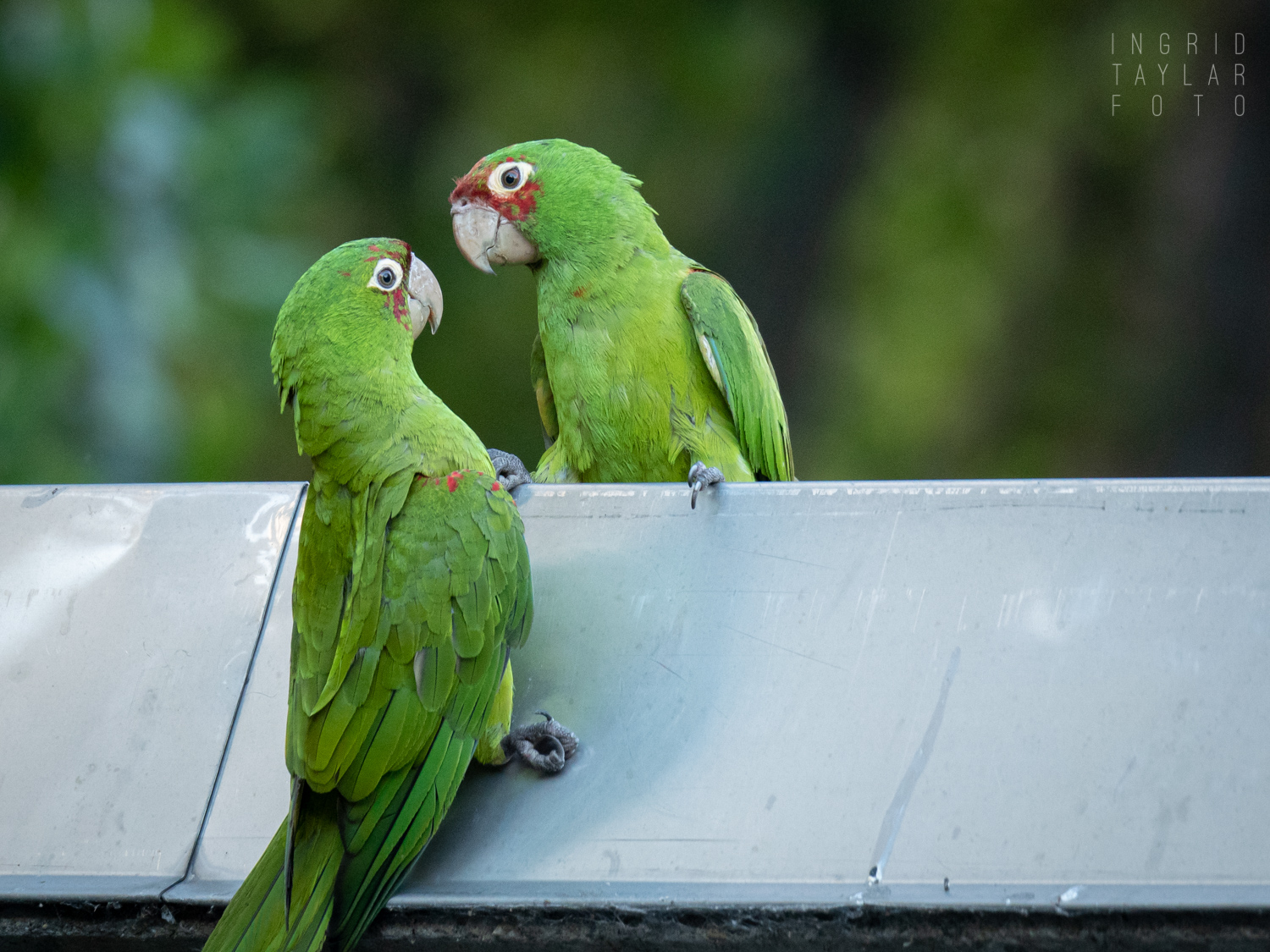 San Francisco Parrots Playing on Roof
