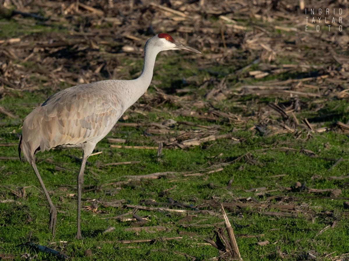 Sandhill Crane Foraging in the Sacramento Delta