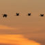 Sandhill Crane Silhouettes at Sunset