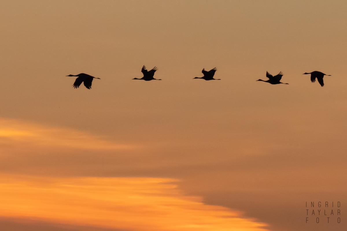 Sandhill Crane Silhouettes at Sunset