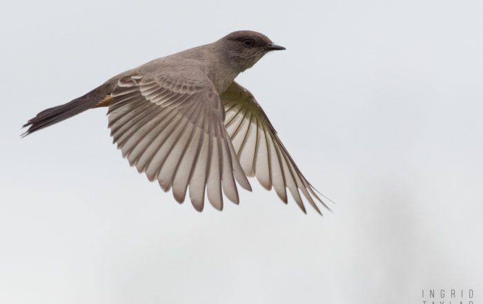Say's Phoebe in Flight 2