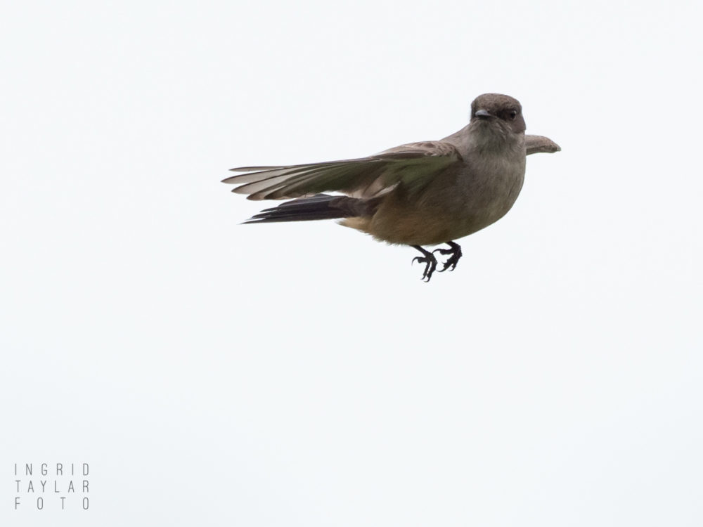 Say's Phoebe Hovering