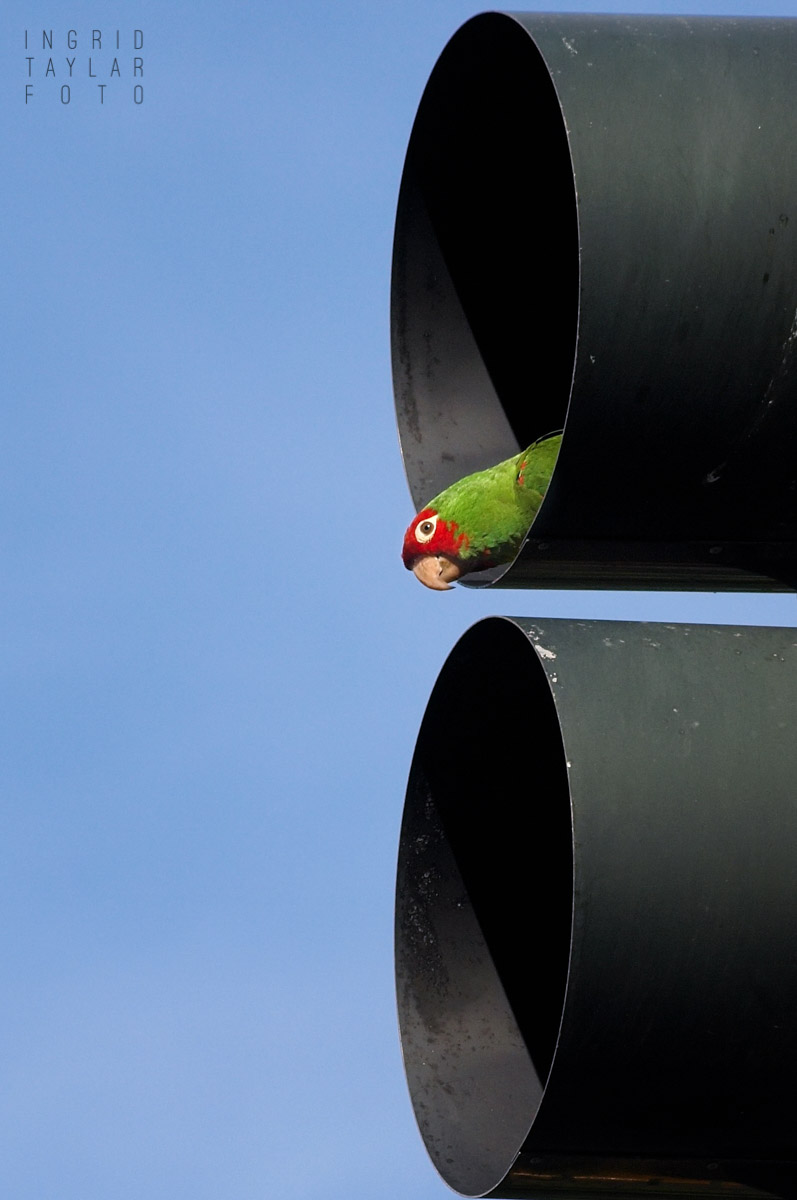 Wild Parrot Playing in Traffic Light in San Francisco