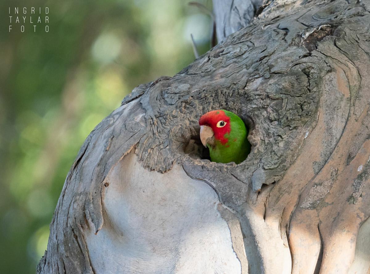 Wild Parrot in Tree Cavity