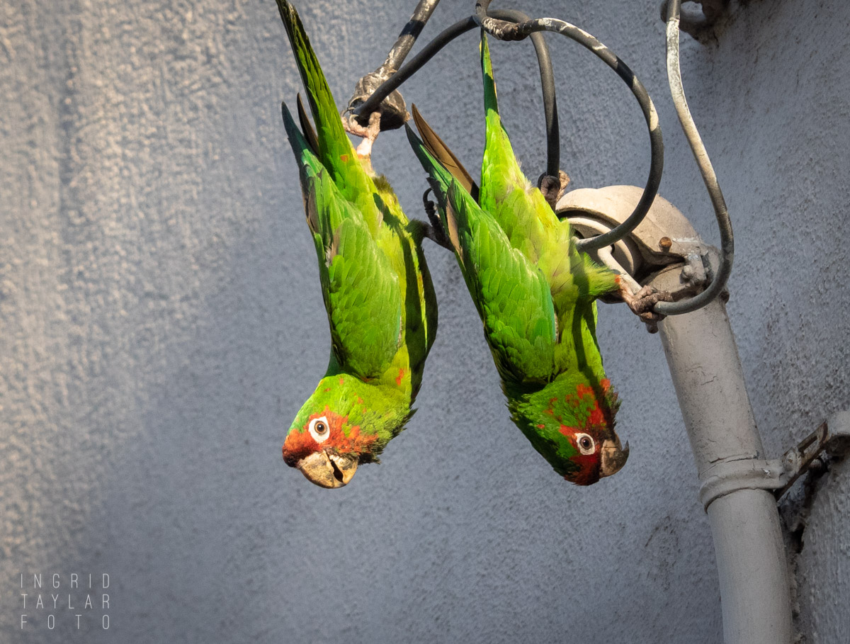 Wild Parrots in Long Beach